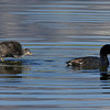 American Coot (Fulica americana) and chick at Widgeon Pond in Red Rock Lakes National Wildlife Refuge. The chick has pushed itself up above the water and shook itself. It appears to be standing on the water. July 29, 2010.