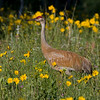 Male Sandhill Crane (Grus canadensis) in meadow of Little Sunflowers across from RedRock RV Park in Island Park, Idaho. July 15, 2009