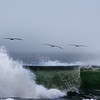Brown Pelicans flying over breaking wave near Long Beach, WA. Oct 2012.
