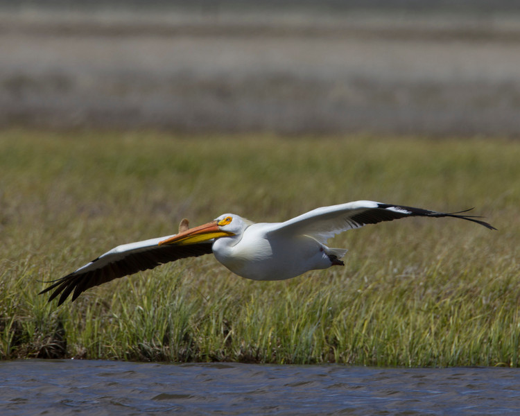 American White Pelican flying low over Red Rock Creek in Red Rock Lakes National Wildlife Refuge. June 1, 2011