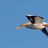 American White Pelican flying over Henry's Lake, Idaho. July 9th, 2012