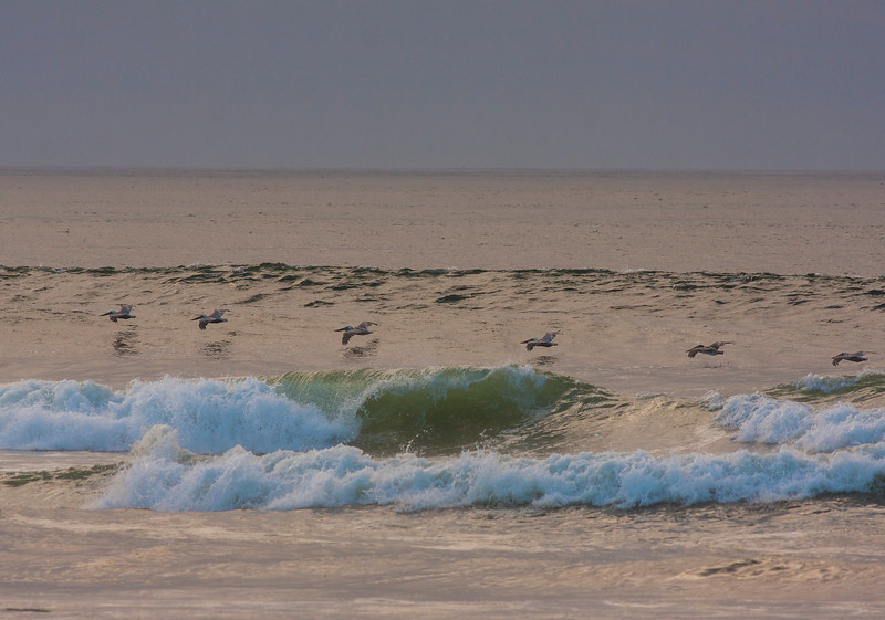 Brown Pelicans flying very low over the surf near Long Beach, WA on Oct 12, 2012 near Sunset.