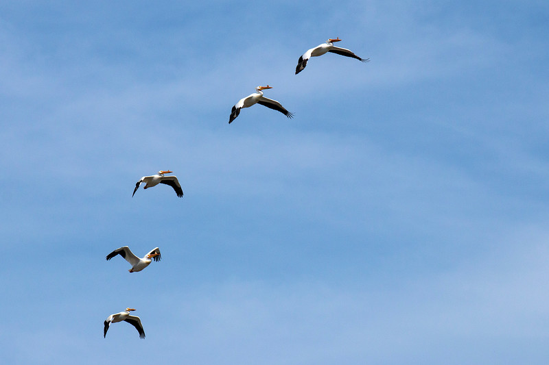 White Pelicans soaring over Henry's Lake, Idaho