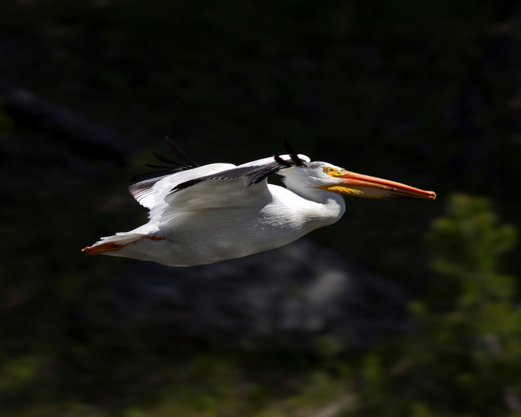 American White Pelican (Pelecanus erythrorhynchos)  Flying over Henry's Fork of the Snake River near Island Park, Idaho. June 13, 2010