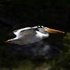 American White Pelican (Pelecanus erythrorhynchos)  Flying over Henry's Fork of the Snake River near Island Park, Idaho. June 13, 2010