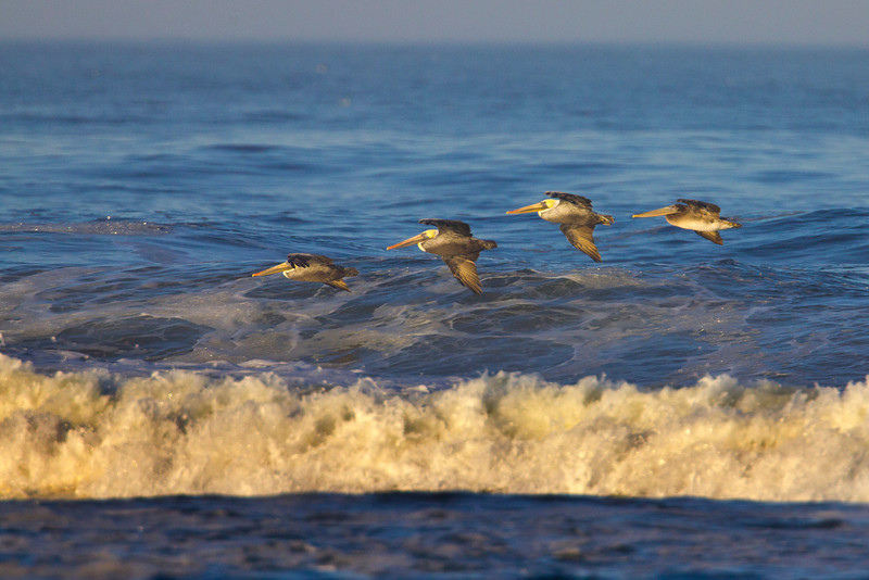 Brown Pelicans flying over Long Beach wave in Washington. Oct 7, 2012