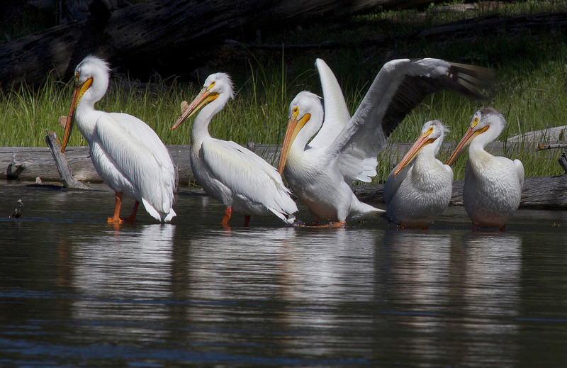 American White Pelican (Pelecanus erythrorhynchos)  family (not two young birds on right) standing on a submerged log in Henry's Fork of the Snake River. June 13, 2010.