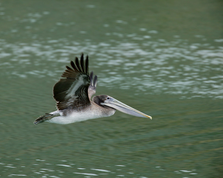 Brown Pelican flying at Russian River outlet to Pacific Ocean. Sonoma Beach State Park. Oct 1 2006
