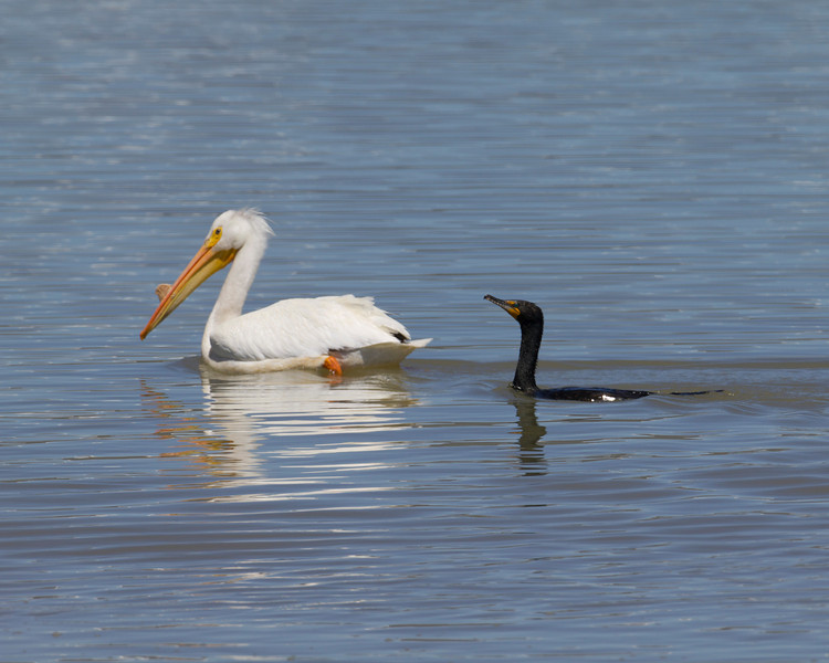 American White Pelican swimming with Cormorant in Red Rock Creek near Lower Red Rock Lake dam in Red Rock Lakes National Wildlife Refuge. June 18, 2010. Montana