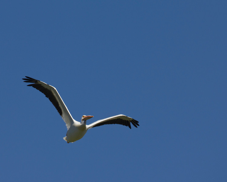 American Pelican flying.