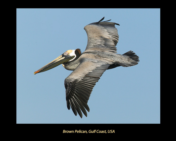 Brown Pelican flying over Aransas Bay, near Rockport, Texas. April 2007