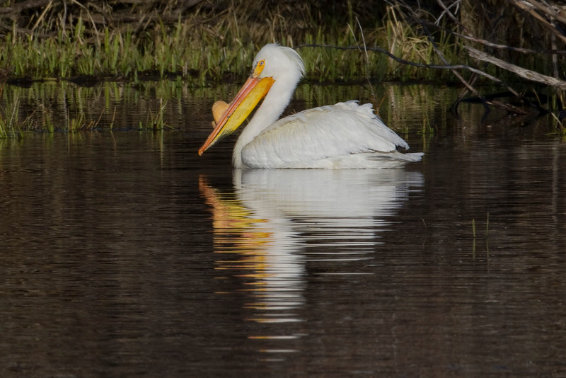 American White Pelican on Henry's Lake. May 16, 2010.