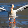 White Pelican landing in Henry's Lake. May 29, 2009