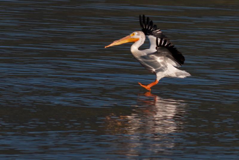 American White Pelican landings in Henry's Lake. July 9th, 2012.