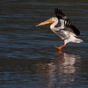 American White Pelican landings in Henry's Lake. July 9th, 2012.