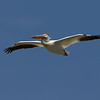 American White Pelican flying over Red Rock Creek in Red Rock Lakes National Wildlife Refuge. June 1, 2011