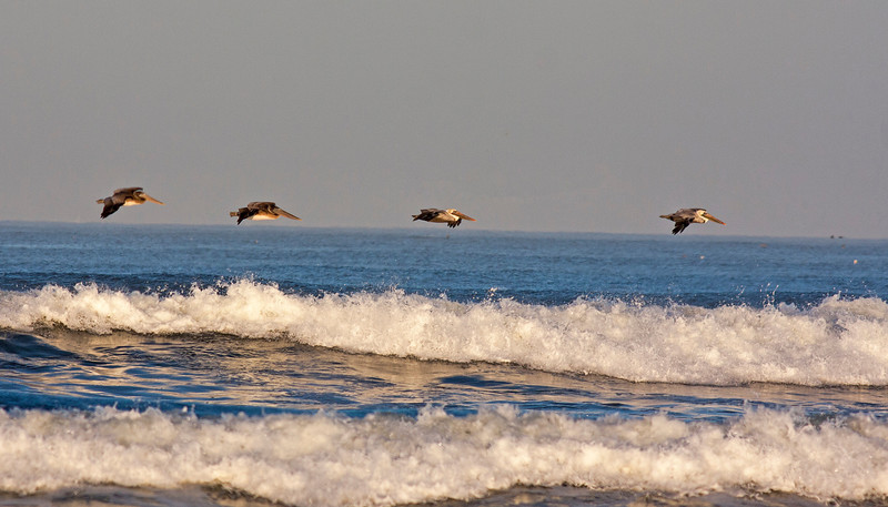 Brown Pelicans flying low over wave along Long Beach in the state of Washington. Oct 6, 2012