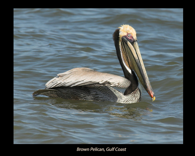Brown Pelican along the Gulf Coast, near Fulton, Texas. April 2007