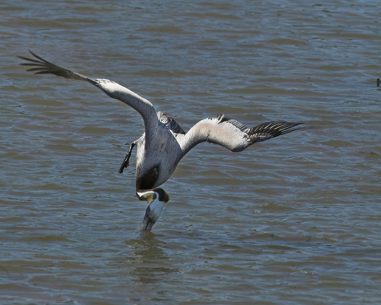 Brown Pelican diving after a fish in Port Aransas, Texas. April 2007