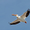 White Pelican over Henry's Lake