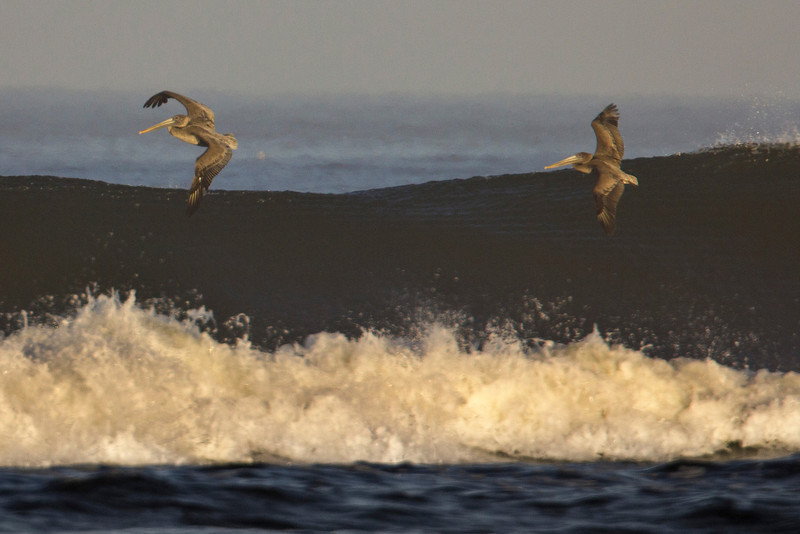 Two Brown Pelicans flying over waves looking for food along Long Beach, WA. Oct 2012