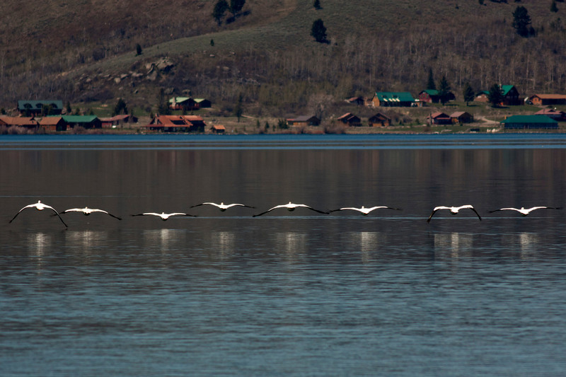 American White Pelicans flying away on Henry's Lake. May 8, 2012 (east end of lake)