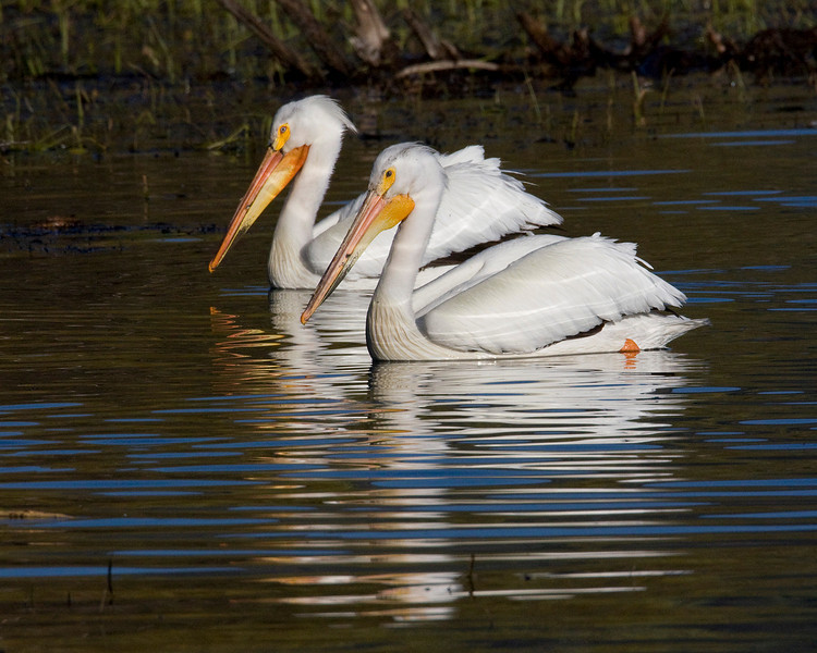White Pelicans in Henry's Lake near Hope Creek in Island Park, Idaho. May 29, 2009