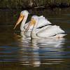 White Pelicans in Henry's Lake near Hope Creek in Island Park, Idaho. May 29, 2009