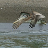 Brown Pelican Flying at Russian River Estuary at Sonoma State Park. Oct 1, 2006