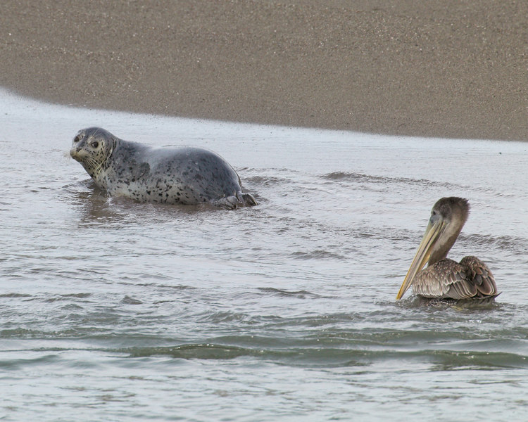 Harbor seal and Brown Pelican at Russian River outlet to Pacific Ocean at Sonoma Beach State Park. Oct 1, 2006