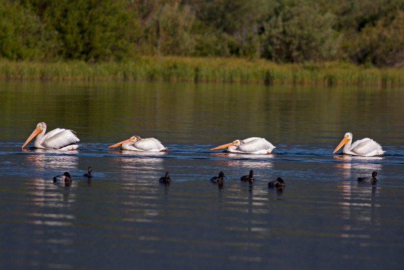 An American Pelican Family paddling across the entrance to Hope Creek on Henry's Lake, Island Park, Idaho. June 6th, 2012.