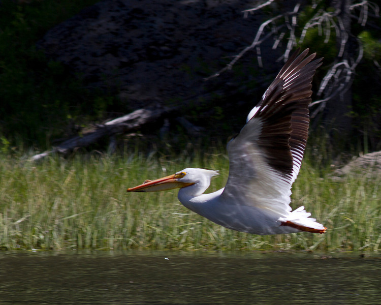 American White Pelican (Pelecanus erythrorhynchos) flying over Henry's Fork of the Snake River near Coffee Pot campground. Island Park, Idaho. June 13, 2010.