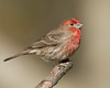 House Finch showing it's bright red chest in San Jacinto Mountains in late January 2008.