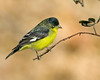 Lesser Goldfinch in Silent Valley RV Park.