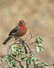 House Finch at Silent Valley Club in Oak Tree. Jan 2009 in San Jacinto Mountains, California.