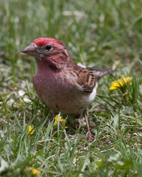 Cassin's Finch (Carpodacus cassinii), Island Park, ID May 31, 2009