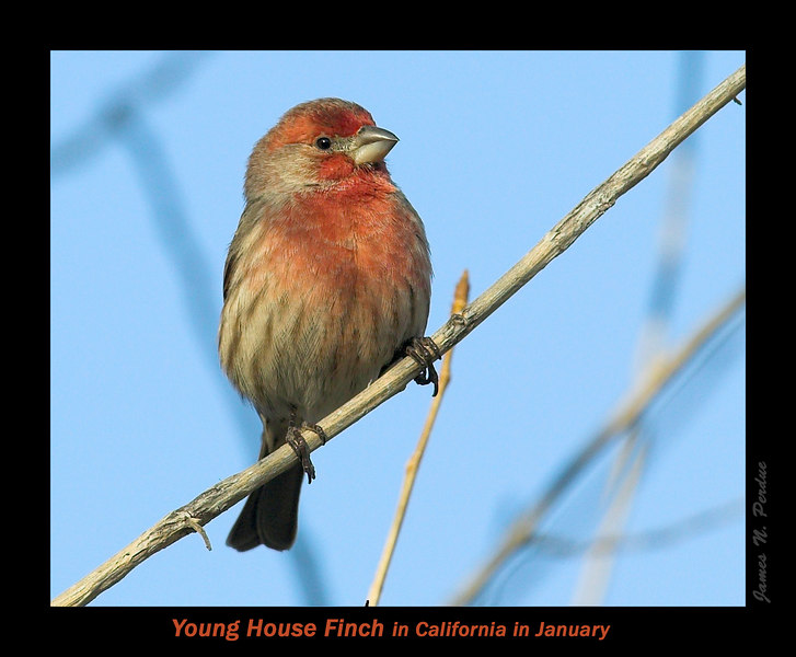 Young House Finch in Silent Valley, San Jacinto Mtns, above Palm Springs, California, Early January 2007