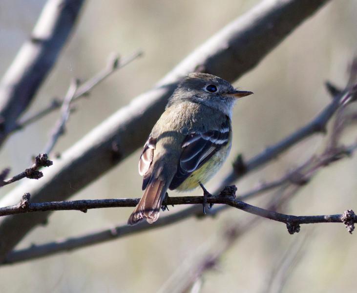 "Cordilleran Flycatcher (Empidonax occidentalis) also called ""Western"" Flycatcher at Bubbling Ponds, AZ. April 27, 2011"
