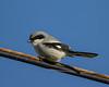Northern Shrike (Lanius excubitor) in countryside around Rio Vista,CA. Dec18, 2012