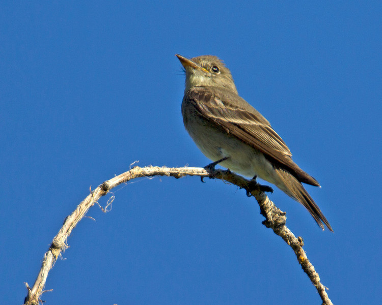 Western Wood-Pewee, (Contopus sordidulus) Targhee Forest, Island Park, Idaho July 31, 2012