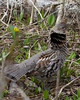 Ruffed Grouse in Targhee National Forest across from RedRock RV Park, near Island Park, Idaho. May 11, 2013