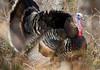 Wild Turkey in the bush above the Sanpete Valley in mid-Utah. April 23, 2012.