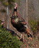 Male Wild Turkey in Morgan Hill, CA. Nov 23, 2011
