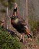 Male Wild Turkey in Morgan Hill, CA. Nov 23, 2011