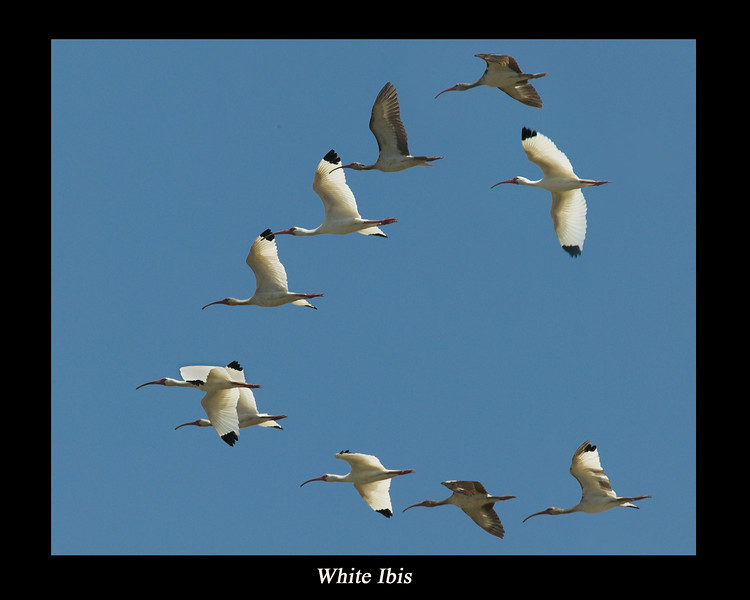 A flock of White Ibis flying over Port Aransas, Texas. April 2007