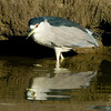 Black-crowned Night Heron in canal looking for fish in Menifee, CA Jan 2007
