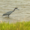 Little blue Heron in Rockport, Texas. April 2007