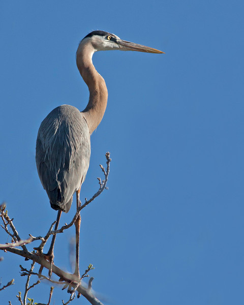 Great Blue Heron in tree top, near Oak Creek, Cornville, AZ. April 16, 2011