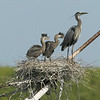Great Blue Heron with nestlings at Aransas Pass. On top of Mast on old abandoned ship in Harbor. April 2007