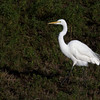 Great white egret.